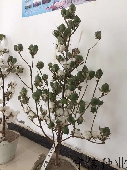 新疆棉花种子_棉花种子厂家_价格_图片