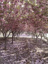 樱花树樱花价格_最新樱花树价格--山东泰安和正樱花图片