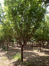 泰安3-4-5-6-7-8-9-10公分樱花价格--山东泰安和正樱花树图片