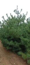 华山松--山东泰安和正苗木种植专业合作社图片