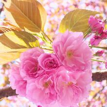 高杆晚樱花--高杆染井吉野图片