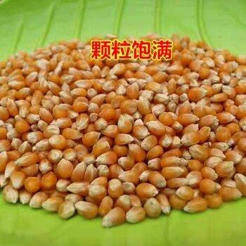 在西安哪里能買到爆米花原料西安爆米花玉米在哪買