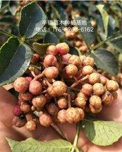 大红袍花椒苗产量/一斤花椒几钱/大红袍种植技术图片