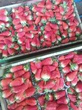 大棚种植甜查理草莓苗湿度多草莓苗适宜的湿度图片