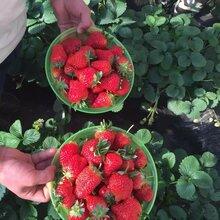甜查理草莓苗这个品种是在哪个国家引进的批发甜查理草莓苗图片