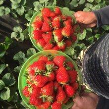 浙江地区甜查理草莓苗的种植时间可不可以在大棚里种植图片