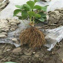 我想种植甜查理草莓苗哪里的种苗价格便宜图片
