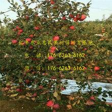 1公分岳阳红苹果苗、苹果苗基地、批发价格图片
