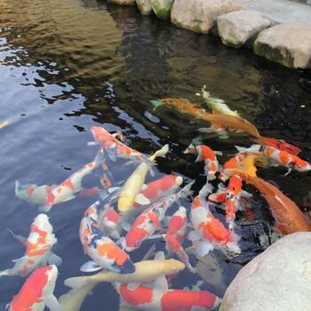 杭州观赏鱼、锦鲤鱼销售