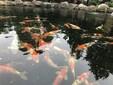 杭州錦鯉出售、魚池過濾建設改造、魚池清洗圖片