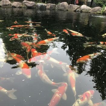 杭州锦鲤出售、鱼池过滤、鱼池清洗