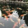 锦鲤、鱼池过滤、清洗