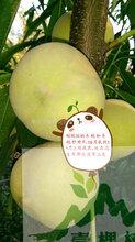 中华黑桃树苗