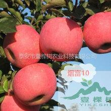 小国光苹果苗行情发展