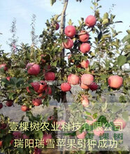 华红苗栽培条件