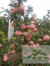 新红星苹果苗怎么卖
