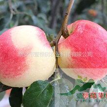 澳洲青苹果苗几月份成熟
