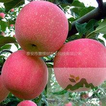 柱状苹果苗供应