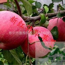 矮化短枝富士苹果苗产量怎么样