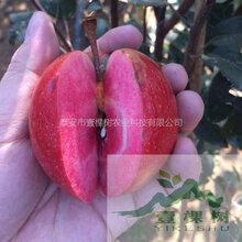 高原红苹果苗现货充足