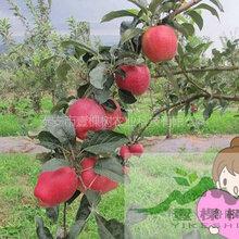 澳洲青苹果苗多少钱