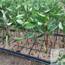 脱毒矮化樱桃苗种植技术
