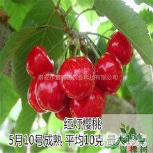 红灯樱桃苗早熟