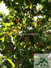 布鲁克斯樱桃苗挂果状