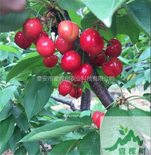 黑珍珠樱桃苗好吃吗