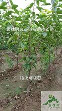 俄罗斯8号樱桃苗亩产量