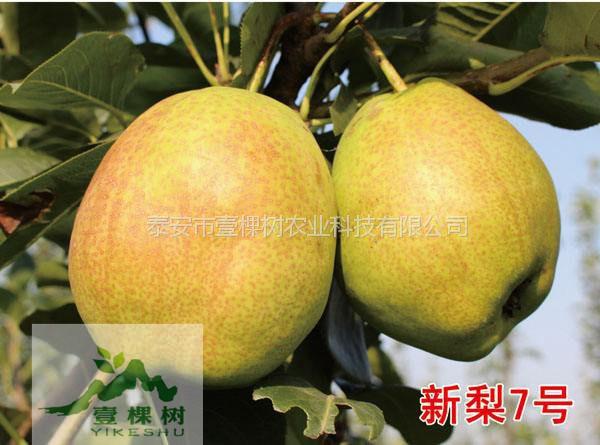 【八月红梨树苗农业批发】- 黄页88网