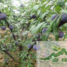 黑布林苗亩产量