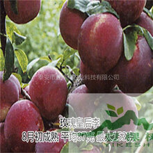 红香妃李树苗好吃吗