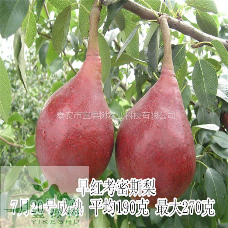 中梨4号梨树苗经济效益