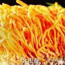北虫草食用菌厂家图片