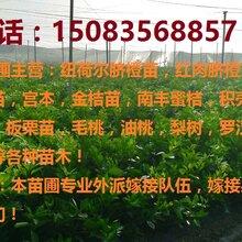 赣南脐橙苗,沃柑苗,沃柑苗等果树苗批发多少钱!图片