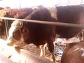 肉牛预混料育肥牛专用预混料厂家图片