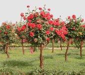 月季价格月季物超所值在信和园林