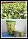 深圳綠茶批發春茶香氣頭春茶辦公茶禮品茶葉