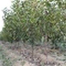 樱桃树梨树柿子树苹果树核桃树山楂树