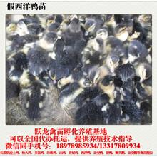向各地提供各种鸡苗,鸭苗,鹅苗批发,免费打好疫苗图片