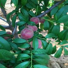 优质沙红桃树苗批发沙红桃树苗出售价格是多少图片