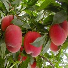 新品种映霜红桃树苗出售映霜红桃树苗价格多少图片