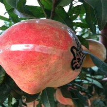 新品种白桃树苗报价白桃树苗哪里有可以买到