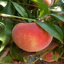 优质艳红桃树苗多少钱艳红桃树苗批发价格图片