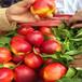 新品种早凤王桃树苗多少钱早凤王桃树苗价格与报价