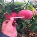 优质仓方早生桃树苗批发仓方早生桃树苗出售价格