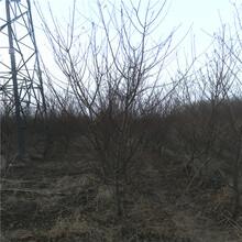 山东春红桃树苗批发春红桃树苗种植基地图片