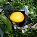 優質中華壽桃樹苗價格中華壽桃樹苗價格多少錢