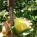 新品种冬雪蜜桃树苗哪里有冬雪蜜桃树苗什么价格